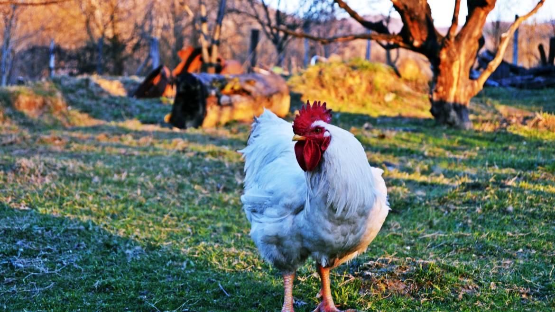 Kippen bestrijden